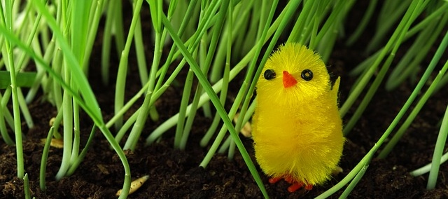 Cute chick in the garden