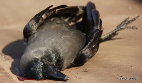 Dead bird with blood oozing out of its head - Agra, India